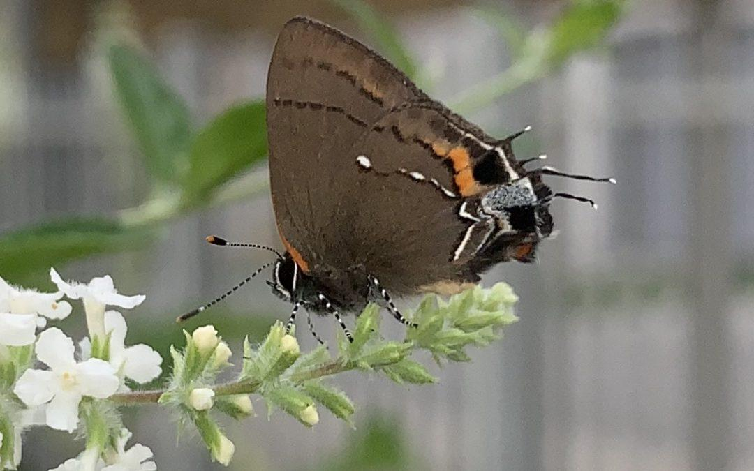 """Our butterflies and bugs are disappearing: """"The Windshield Phenomenon"""" and why it matters."""
